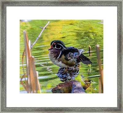 Wood Duck Framed Print by Jerry Cahill
