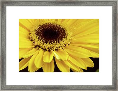 Yellow Gerbera Daisy Framed Print by JT Lewis