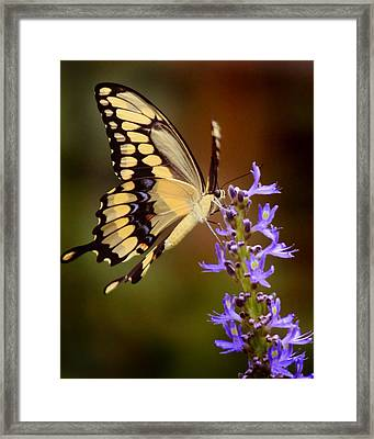 Framed Print featuring the photograph Yellow Swallowtail by Joseph G Holland