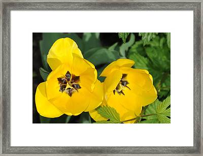 Yellow Tulips Framed Print by Patrick  Short