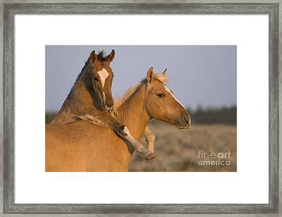 Young Mustangs Playing Framed Print by Jean-Louis Klein & Marie-Luce Hubert