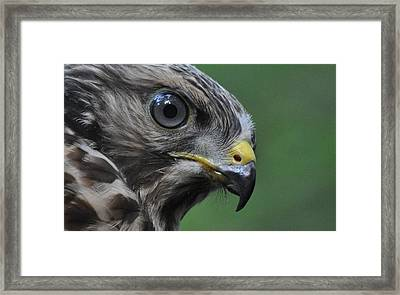 Young Red-shouldered Hawk Framed Print by Monteen  McCord