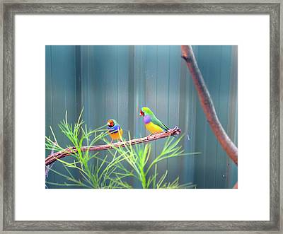 Aussie Rainbow Lovebirds Framed Print