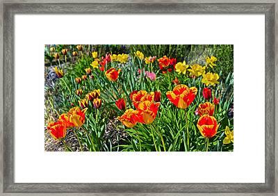 2015 Acewood Tulips 1 Framed Print