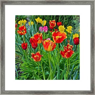 2015 Acewood Tulips 6 Framed Print