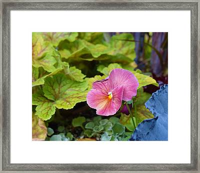 2015 After The Frost At The Garden Pansies 3 Framed Print by Janis Nussbaum Senungetuk