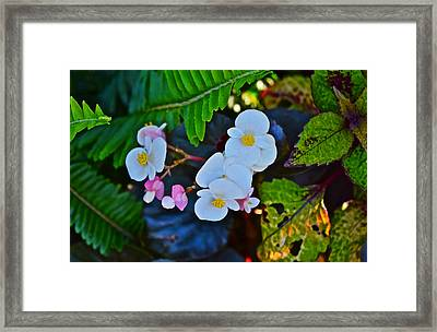 2015 Early September At The Garden Begonias Framed Print