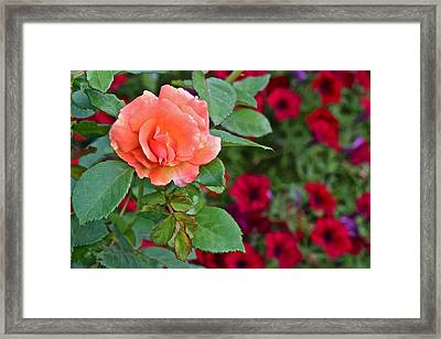 2015 Fall Equinox At The Garden Sunset Rose And Petunias Framed Print