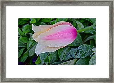 2015 Spring At Olbrich Gardens Lily Tulip In The Rain Framed Print