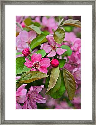2015 Spring At The Gardens Pink Crabapple Blossoms 2 Framed Print