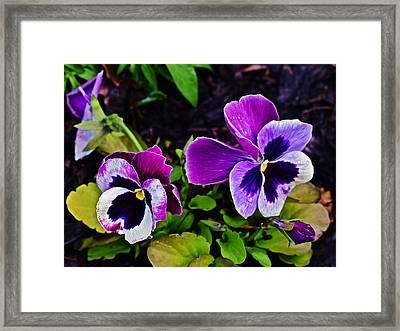 2015 Spring At Olbrich Gardens Violet Pansies Framed Print