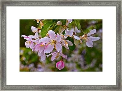 2015 Spring At The Gardens White Crabapple Blossoms 1 Framed Print