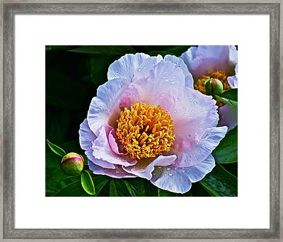 2015 Spring At The Garden White Peony  Framed Print