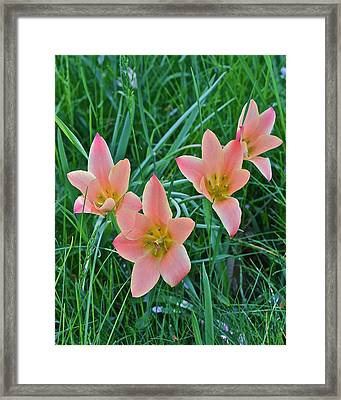 2015 Spring At The Gardens Meadow Garden Tulips 3 Framed Print