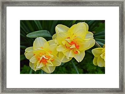 2015 Spring At The Gardens Tango Daffodil Framed Print