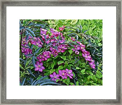 2015 Summer At The Garden Beautiful Clematis Framed Print by Janis Nussbaum Senungetuk