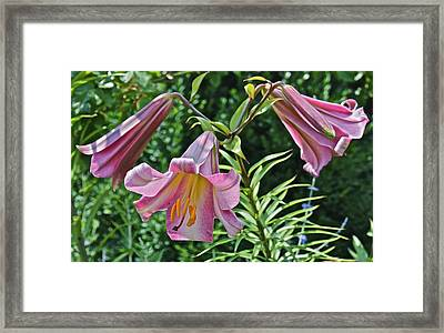 2015 Summer At The Garden Lilies In The Rose Garden 2 Framed Print