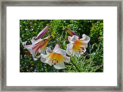 2015 Summer At The Garden Lilies In The Rose Garden 1 Framed Print