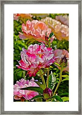 2015 Summer's Eve At The Garden Candy Stripe Peony Framed Print
