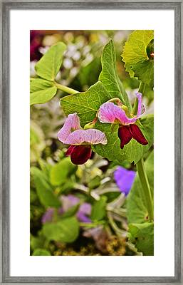 2015 Summer's Eve At The Garden Sweet Pea 2 Framed Print