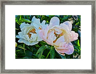 2015 Summer's Eve At The Garden White Peony Duo Framed Print