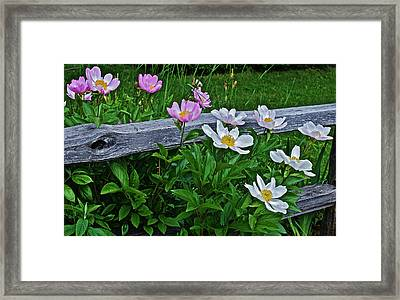 2015 Summer's Eve Neighborhood Garden Front Yard Peonies 2 Framed Print