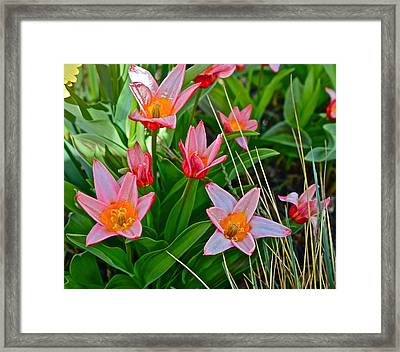 2016 Acewood Tulips 2 Framed Print