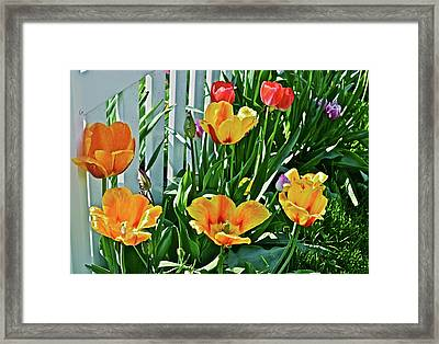 Framed Print featuring the photograph 2018 Acewood Tulips Against The White Fence 1 by Janis Nussbaum Senungetuk