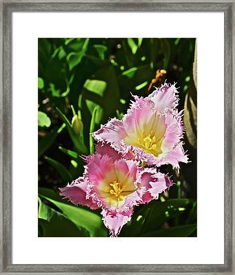Framed Print featuring the photograph 2018 Acewood Tulips Fringed Beauties by Janis Nussbaum Senungetuk