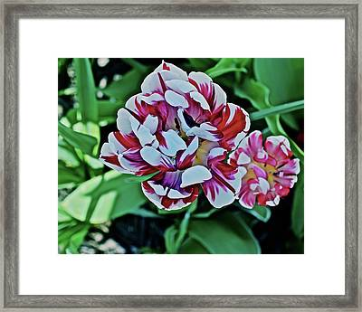 Framed Print featuring the photograph 2018 Acewood Tulips Red And White 1 by Janis Nussbaum Senungetuk