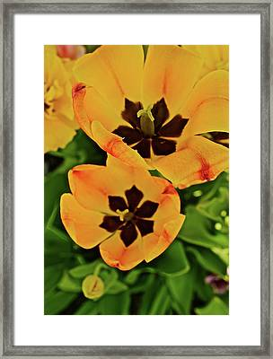 Framed Print featuring the photograph 2018 Acewood Tulips Yellow Blooms by Janis Nussbaum Senungetuk