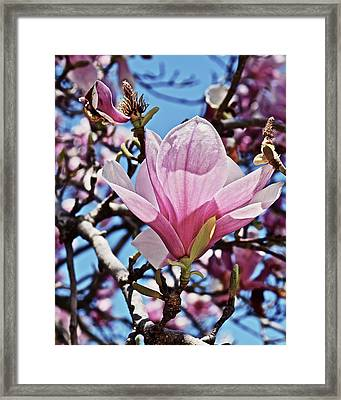 Framed Print featuring the photograph 2018 Vernon Magnolias 6 by Janis Nussbaum Senungetuk