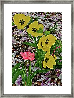Framed Print featuring the photograph 2018 Vernon Tulips 2 by Janis Nussbaum Senungetuk