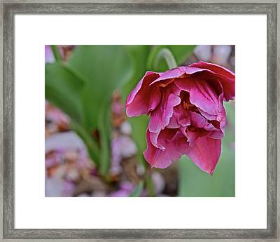 Framed Print featuring the photograph 2018 Vernon Tulips 3 by Janis Nussbaum Senungetuk