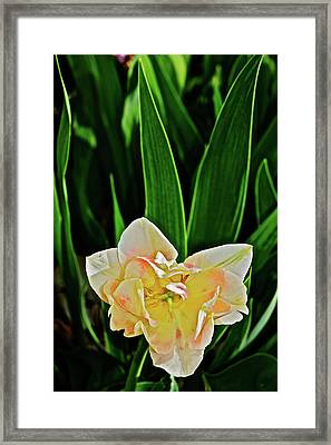 Framed Print featuring the photograph 2018 Vernon Tulips 4 by Janis Nussbaum Senungetuk