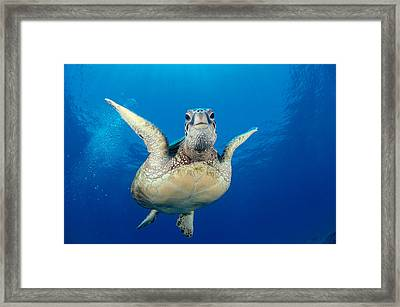 Green Sea Turtle Framed Print by Dave Fleetham - Printscapes