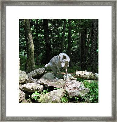 Framed Print featuring the photograph The Wild Wolve Group A by Debra     Vatalaro