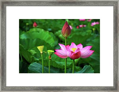 Blossoming Lotus Flower Closeup Framed Print