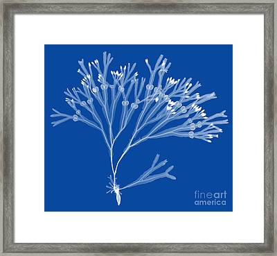 Rockweed Seaweed, X-ray Framed Print by Ted Kinsman