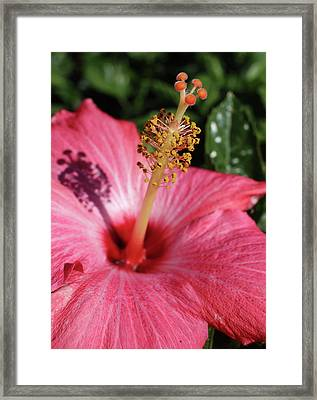 Hibiscus Framed Print by Michele Caporaso