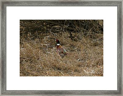 Ring-necked Rooster Pheasant  Framed Print