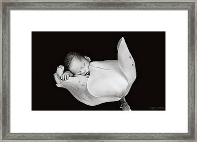 Aden In A Magnolia Bud Framed Print