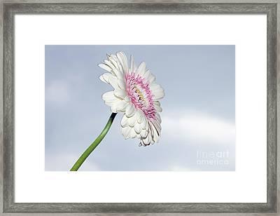 Beautiful Gerber Framed Print