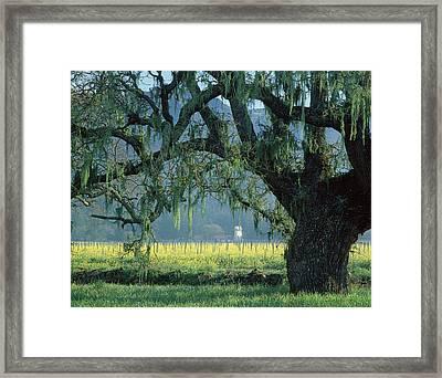 2b6319 Mustard In The Oaks Sonoma Ca Framed Print