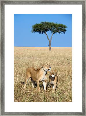 African Lioness Panthera Leo, Serengeti Framed Print by Panoramic Images