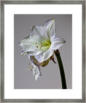 Amaryllis 2 Framed Print by Robert Ullmann
