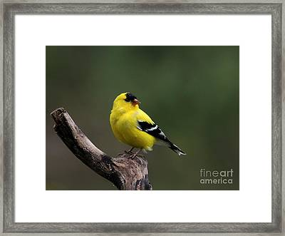 American Goldfinch Framed Print by Jack R Brock