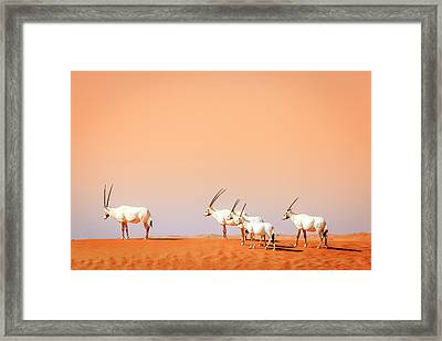 Framed Print featuring the photograph Arabian Oryx by Alexey Stiop