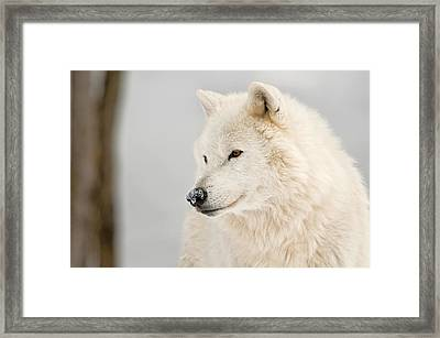 Arctic Wolf Portrait Framed Print