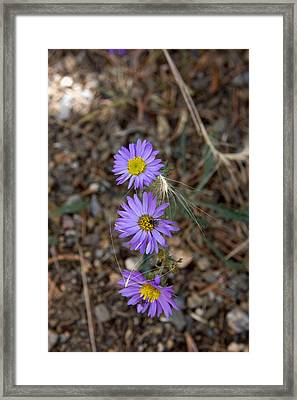 3 Asters 5943 Framed Print
